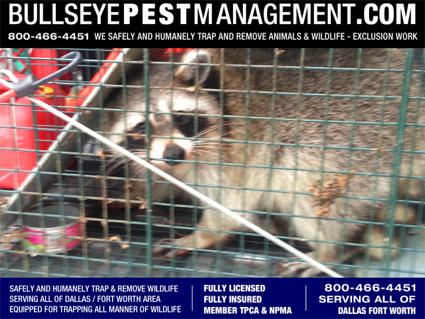 Raccoon Trapping by Bullseye Pest Management serving Dallas Forth Worth