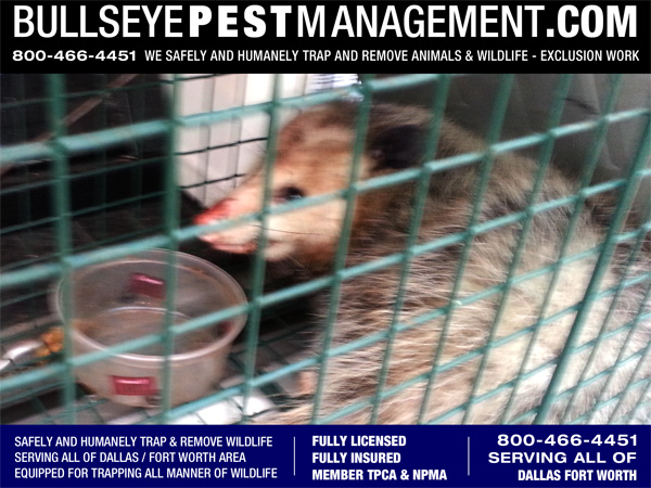 Opossum Trapping by Bullseye Pest Management serving Dallas Forth Worth