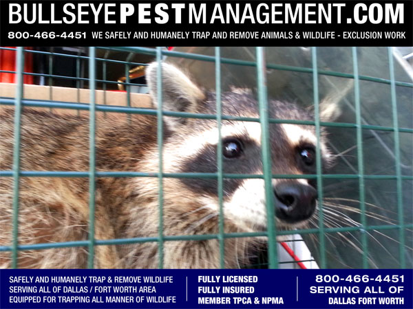 Animal Trapping and Wildlife Removal by Bullseye Pest Management Serving all of Dallas Fort Worth call 800-466-4451