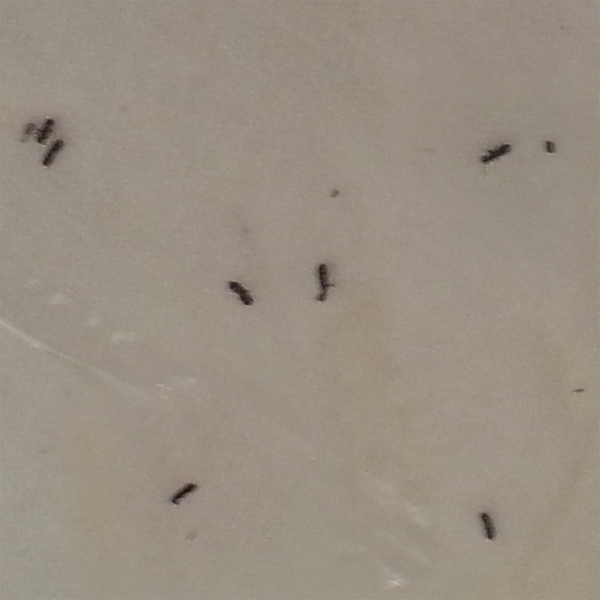 Termite swarmers may resemble small dark-colored ants with wings.  If you can save samples of the insects that you suspect to be termites, your Bullseye Pest Management Certified Applicator can confirm their identity when providing your Free Termite Inspection.