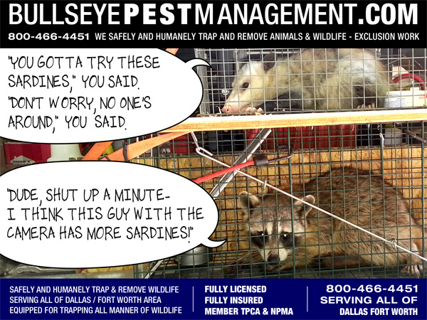 Animal Trapping and Wildlife Removal by Bullseye Pest Management serving all of Dallas Fort Worth