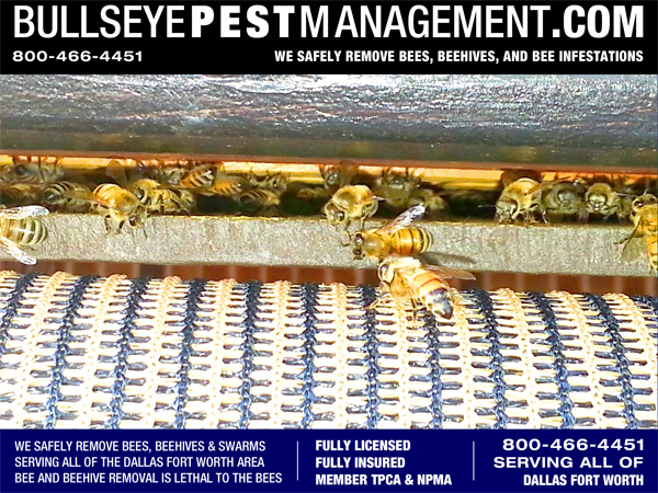 Bee Removal in Coppell, TX.  Bees are seen here in the gap in a patio finished ceiling.