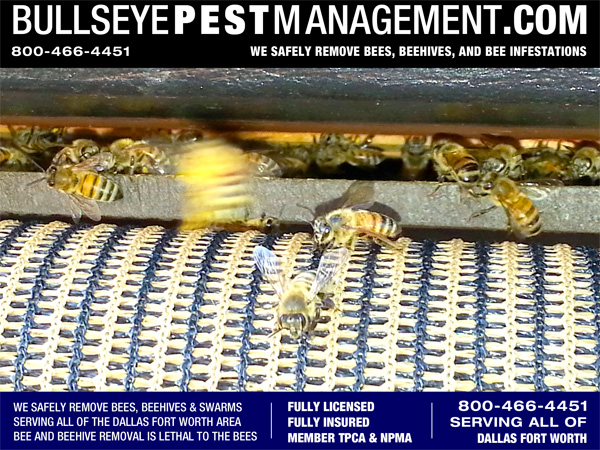 Bullseye Pest Management performs Bee Removal, Beehive Removal and Honeycomb Removal all over Dallas Fort Worth and Surrounding Cities.