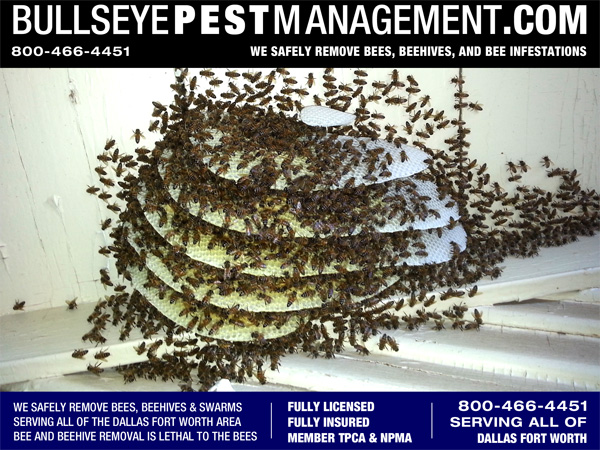 Beehive Removal from a church in Venus Texas by Bullseye Pest Management 800-466-4451