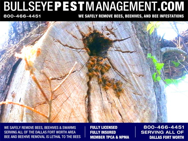 Bullseye Pest Management Removes Bees and Removes Beehives serving all of Dallas Fort Worth including Surrounding Areas.Here at Bullseye Pest we often say we service ALL of Dallas Fort Worth AND the surrounding areas.  Today we're happy to prove it with this service call to Remove Bees in Weatherford TX.