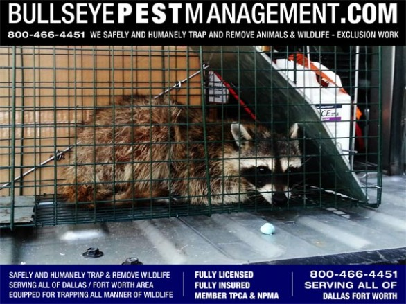 Raccoon Trapping and Removal in Fort Worth Texas by Bullseye Pest Management at 800-466-4451