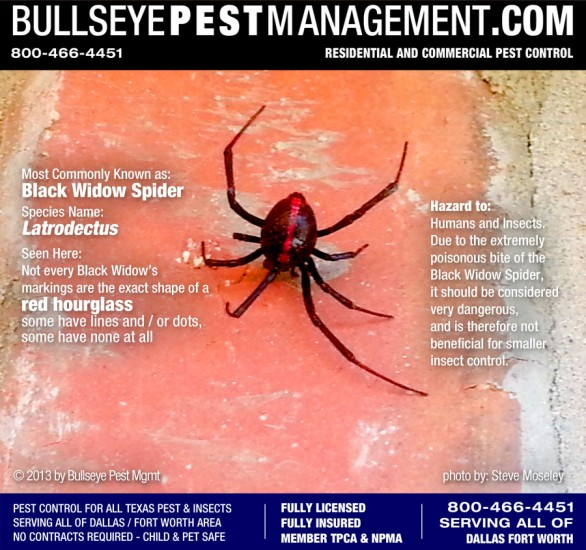 Black Widow Spider Pest Control in Dallas Fort Worth - This photo taken during outside perimeter pest treatment by Bullseye Pest Management