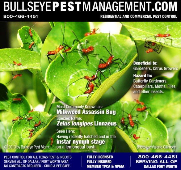 Milkweed Assasin Bug - in most cases is a beneficial insect to gardeners and citrus growers, and is not considered a pest.
