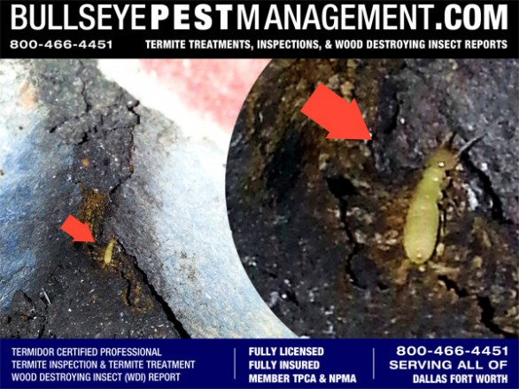 Termite Inspection turns up Termites during a Wood Destroying Insect Inspection in Plano Texas by Bullseye Pest Management