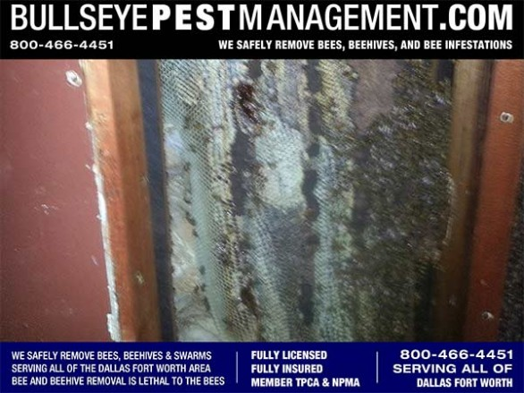 Bee Removal Dallas of hundreds of pounds of honeycomb  by Bullseye Pest Management at 800-466-4451