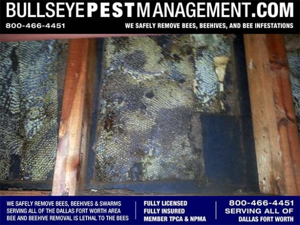 Bee Removal in Dallas by Bullseye Pest Management at 800-466-4451