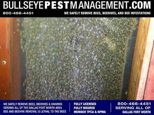 Bee Removal Dallas reveals thousands of bees in the wall of this Dallas Home by Owner / Operator Steve Moseley of Bullseye Pest Management 800-466-4451