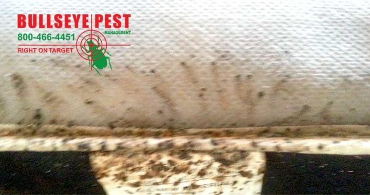 Bedbug Treatment By Bullseye Pest Management In Arlington Texas