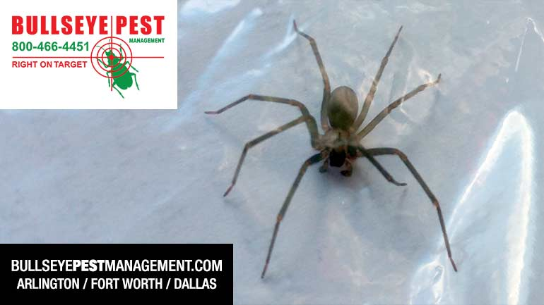Brown Recluse Spider in DFW by Bullseye Pest Management