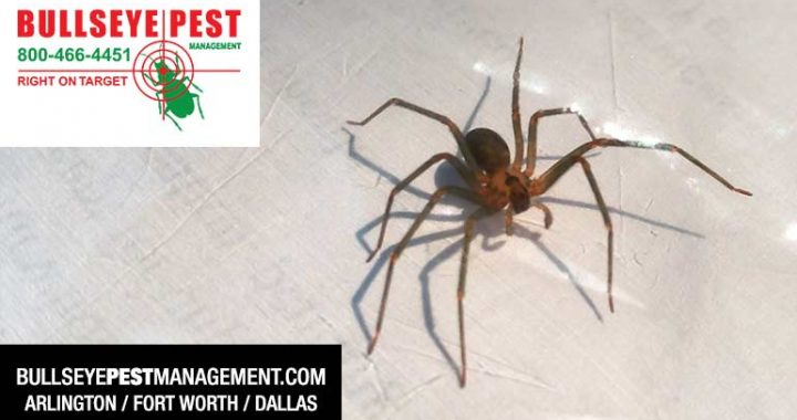 Pest Control Brown Recluse Spider by Bullseye Pest Management in Arlington
