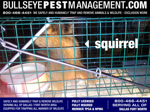 Animal Trapping for Squirrel in Fort Worth Business Office by Bullseye Pest Management