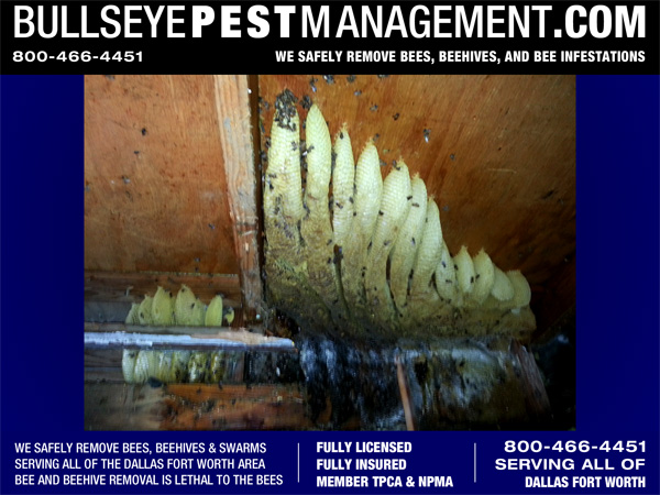 Bee Removal - The entire sixty-plus pounds of honeycomb could only be revealed by cutting away the ceiling plywood.