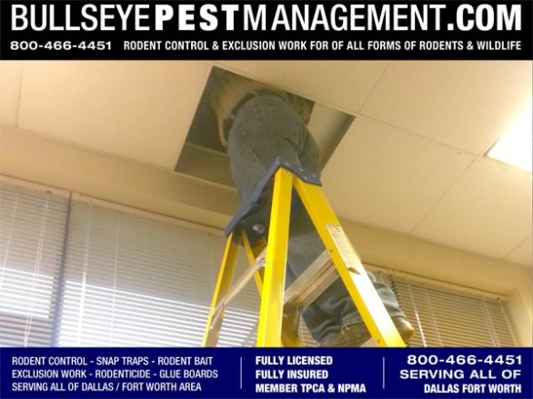 Bullseye Pest Management  owner and Arlington Texas Native Steve Moseley places rodent traps in an office drop ceiling.