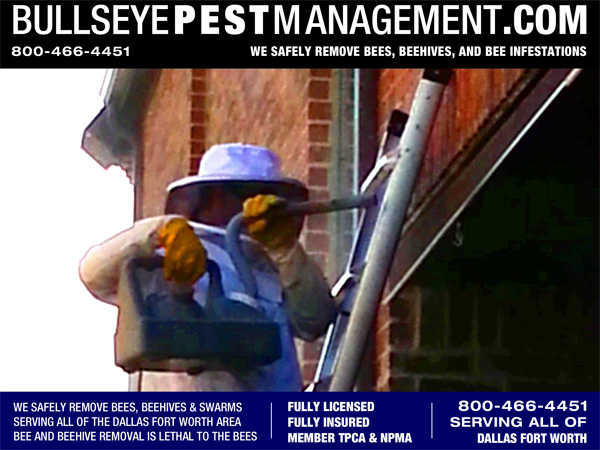 Bee Removal in Coppell TX by Bullseye Pest Management based in Arlington TX and serving all of Dallas Fort Worth.