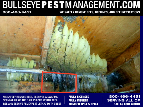 Bee Removal in Fort Worth Texas - The entire beehive revealed, over 60 pounds of honeycomb to be removed.