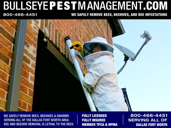 Bee Removal in Coppell Texas - Bee Swarm Inspected by Bullseye Pest Management Owner / Operator Steve Moseley.