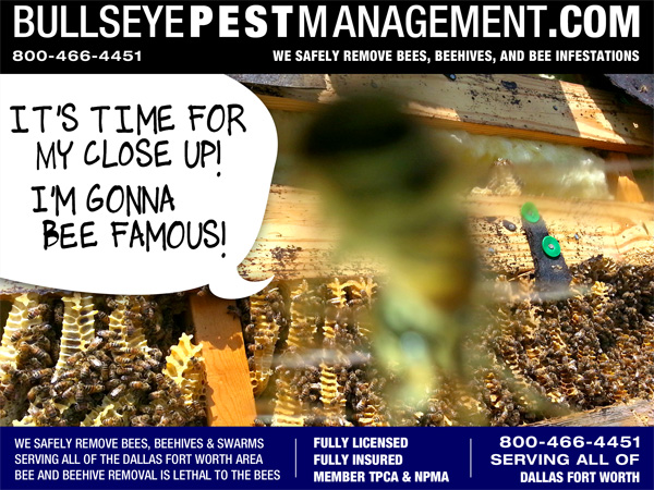 Bee Removal Fort Worth Texas by Bullseye Pest | Owner Operator Steve Moseley is Photobombed by a Bee