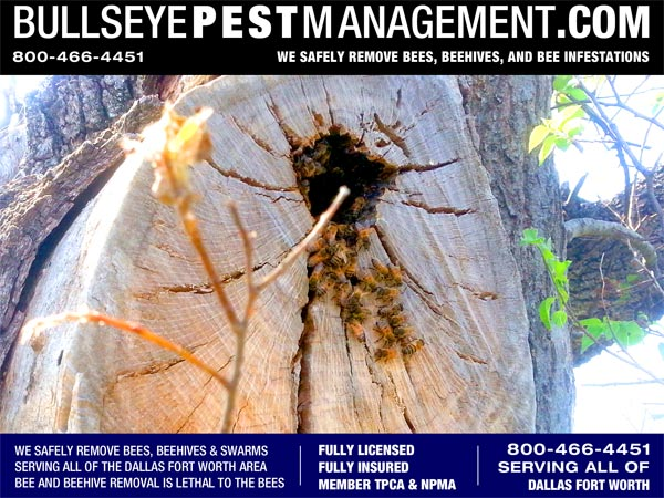 Bee Removal in Weatherford Texas by Bullseye Pest Management 800-466-4451