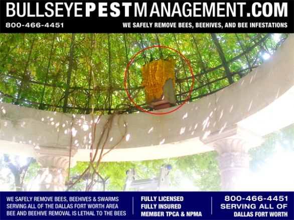 Bee Removal Job in Dallas Texas.  Shown here:  Bullseye Pest Management removes a bee covered owl's house from under a Wisteria covered gazebo.