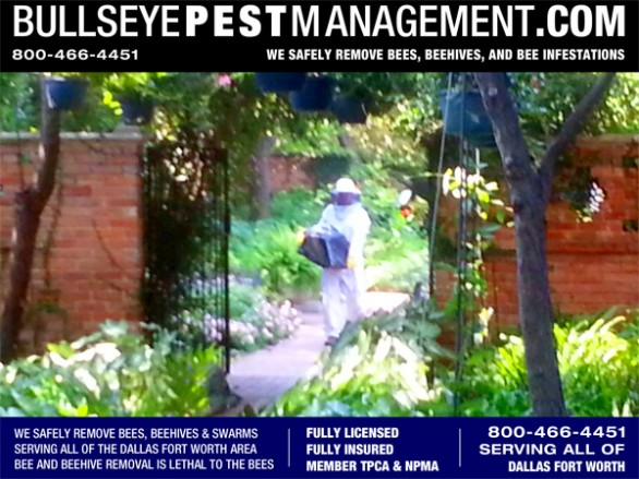 Bullseye Pest Management Owner and Operator Steve Moseley shown here removing bees intact from a Dallas residence.