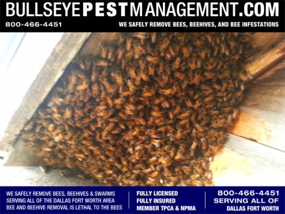 Bee Removal Dallas Texas by Bullseye Pest Management