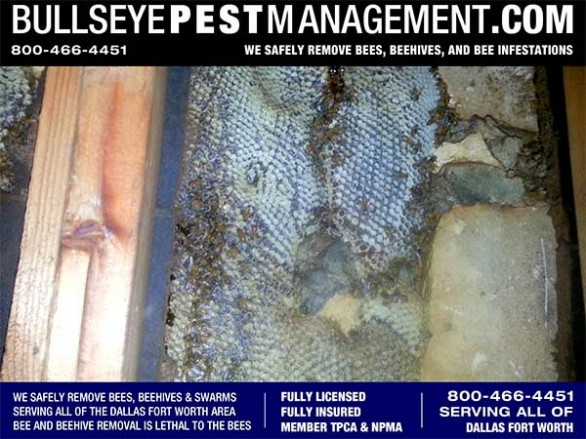 Bee Removal Dallas by Bullseye Pest Management at 800-466-4451