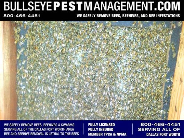Bee Removal Dallas reveals hundreds of pounds of honeycomb in the wall voids of this Dallas Residence by Bullseye Pest Management Owner / Operator Steve Moseley at 800-466-4451