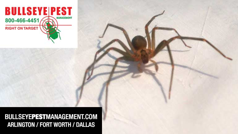 Brown Recluse Spider Pest Control  by Bullseye Pest Management in Arlington