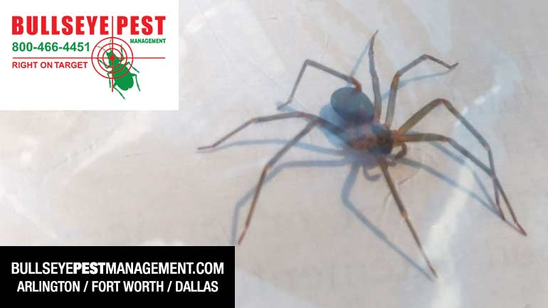 Brown Recluse Spider in Fort Worth by Bullseye Pest Management