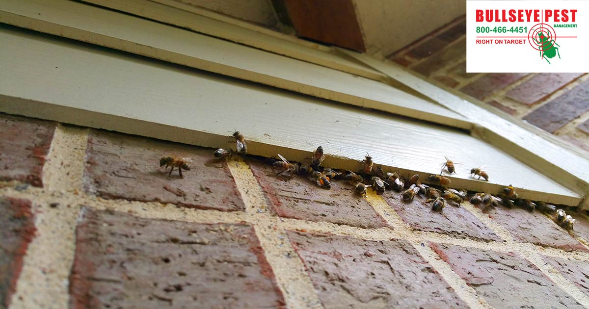 Bee Removal Mansfield Bullseye Pest Managment