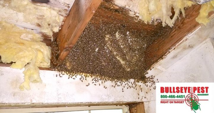 Bee Removal In Dallas Fort Worth By Bullseye Pest Management